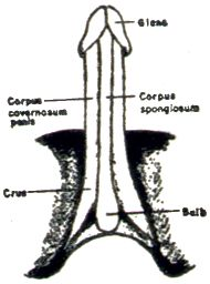 Masters and Johnson's flayed penis