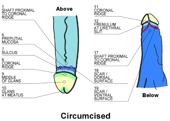Positions on circumcised penis of touch-sensitivity tests
